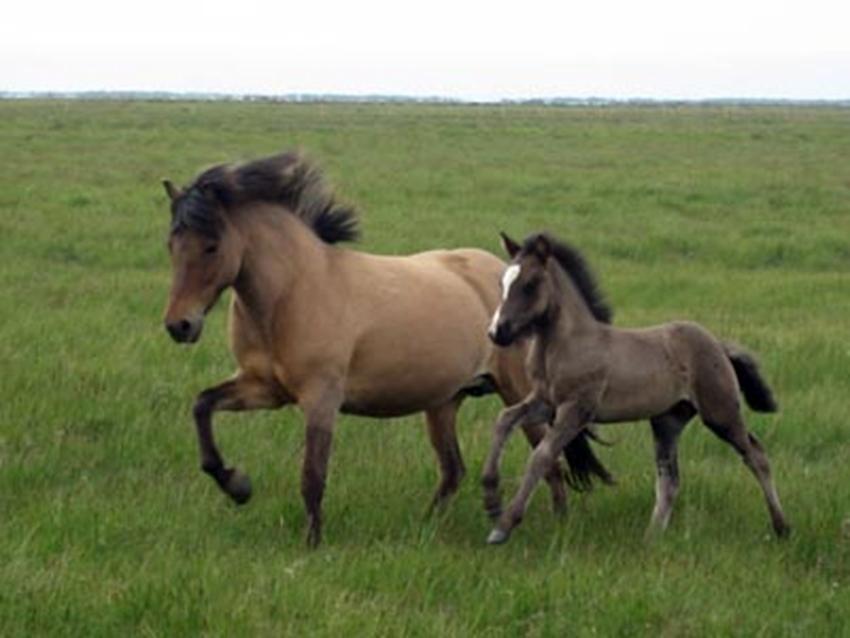 Því miður er ekki til nýleg mynd af Háska, en þarna er hann sem folald með móður sinni sumarið 2008.