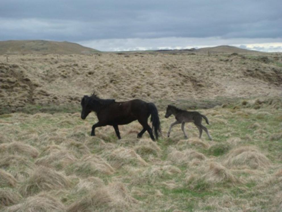 Brúnn hestur undan Hrafnari og Hróðnýju frá Ragnheiðarstöðum.